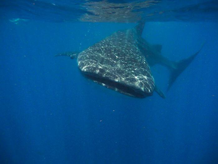 Tiburon ballena (3)