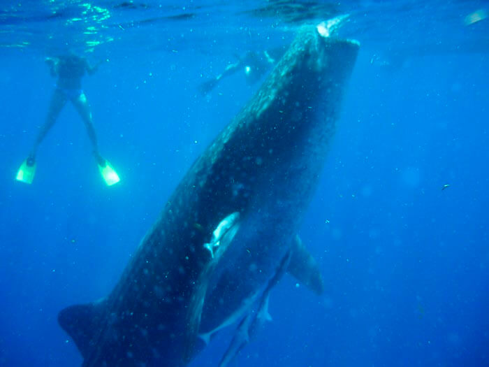 Swim with the whale shark in the Mexican Caribbean 3