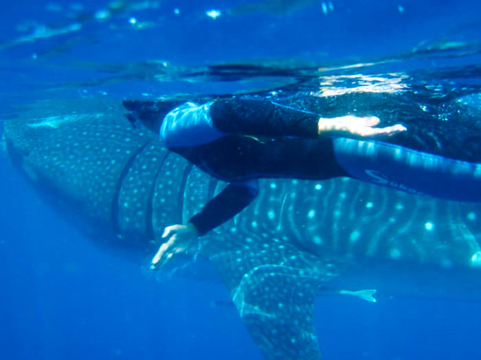 Swimming with the whale shark in Mexico.